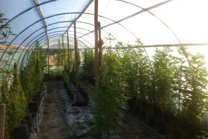 На Кам'янеччині чоловік вирощував понад 100 кущів коноплі в сучасній теплиці